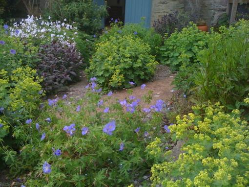 Slade Farm. geranium alchemilla