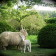 slade Farm sheep in garden thumbnail