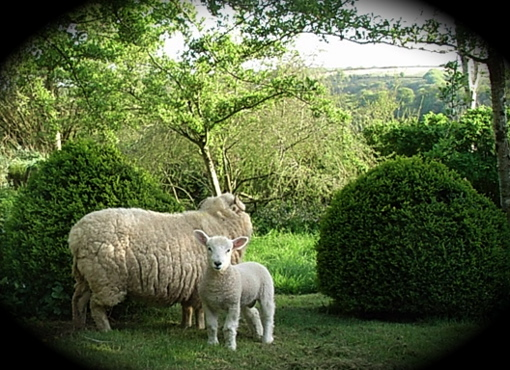slade Farm sheep in garden