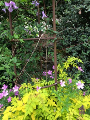 Clematis Betty Corning. Geranium Wargrave Pink. woundwort. golden jasmine copy