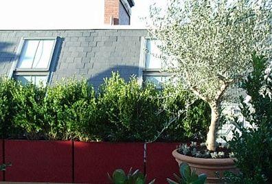 Albert Court Kensington olive tree in pot