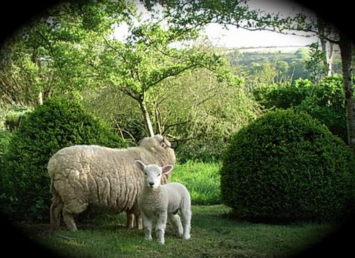 slade Farm sheep in garden