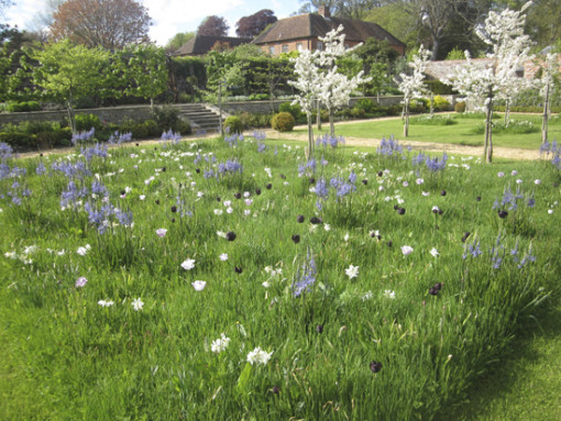Tulip Queen of the Night, Tulip  Shirley, blue Camassia, Malus Golden Hornet. England late May